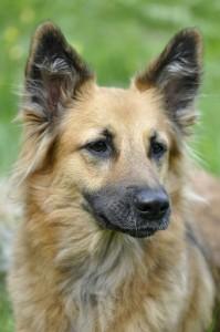 Koira, jota halutaan suojella esi-isiltään. Kuva Pixabay.