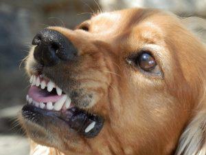 Vihainen koira purukalusto esillä. Kuva Pixabay.