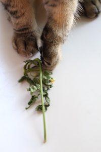 Chilikasvin katkennut latva kissan otteessa.
