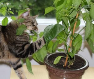 Kissa itse teossa eli chilikasvin kimpussa.