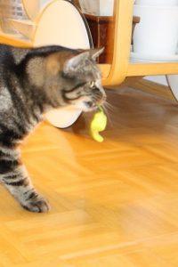 Kissa kantaa chilin palkoa. Varresta on kiva pitää kiinni.