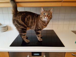 Kissa kulkee sujuvasti uudella hellalla.
