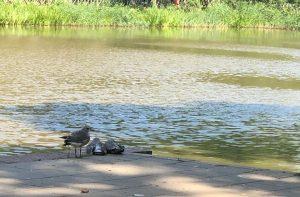 Tämän kesän lokinpoikaset paistattelevat päivää kaupunkia halkovan joen rannalla. Ruskea on hyvä suojaväri nuorukaisille, jotka viettävät paljon aikaa maassa.