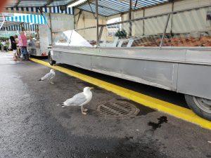 Roope-lokki (edessä) on päivystänyt kauppatorin kalatiskin edessä vuosikausia. Lintua ei ole rengastettu, joten sen tunnistaminen aina samaksi yksilöksi ei ole täysin varmaa.
